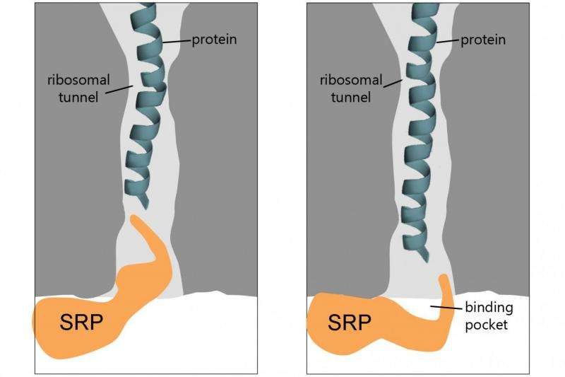 Researchers discover new molecular details about protein sorting in the cell