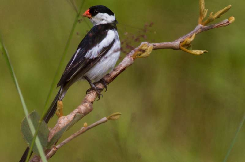 Scientists identify key locations for spread of Pin-tailed Whydahs