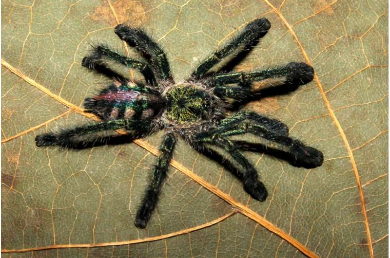 Bird spiders detectives: The solution to a 200-year-old hairy mystery