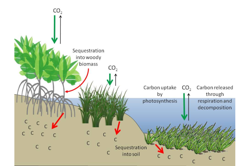 Coastal wetlands excel at storing carbon