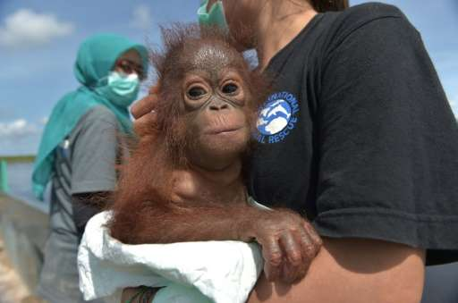 Environmentalists stress keeping orangutans as pets is bad because it means they will later struggle to survive in the wild