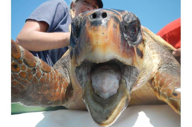 Exeter research helps protect loggerhead turtles