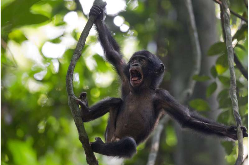In fathering, peace-loving bonobos don't spread the love