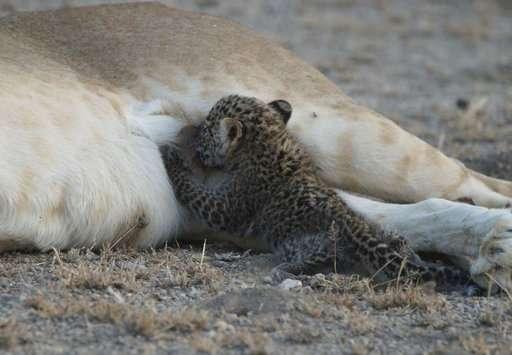 In rare sight, lioness nurses leopard cub in Tanzania