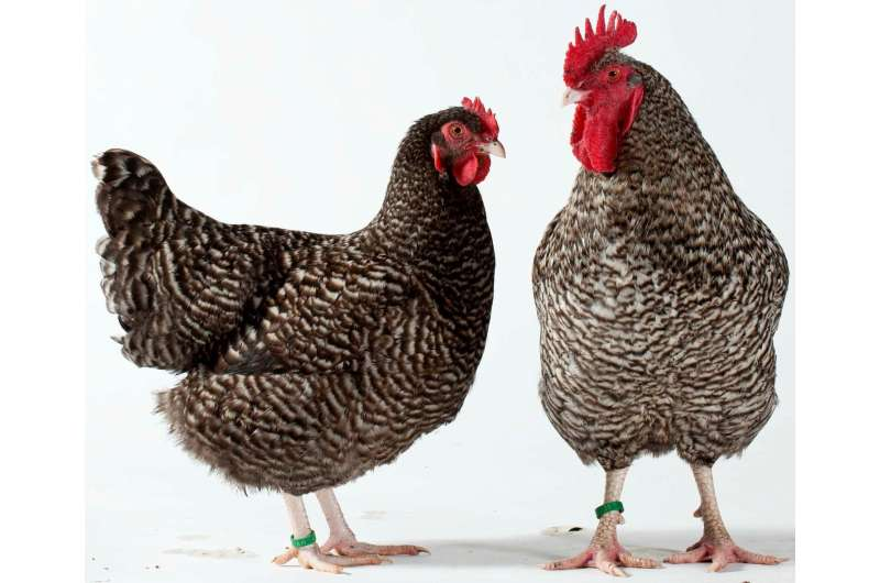 New study reveals how some chickens got striped feathers