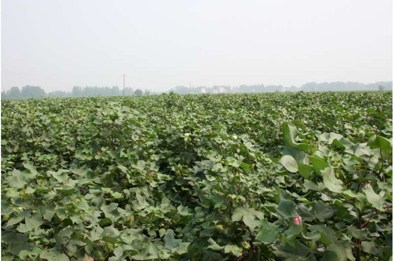 Reversing pest resistance to biotech cotton: The secret is in the mix