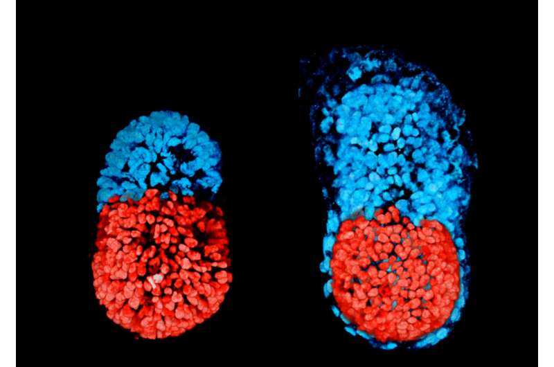 Scientists create artificial mouse 'embryo' from stem cells for first time