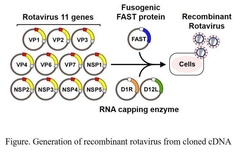 Scientists generate a new plasmid-based reverse genetics system for rotaviruses