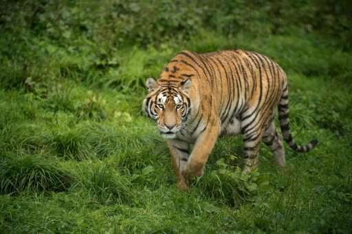 Siberian tigers were on the brink of extinction in the 1940s, but today Chinese rangers and conservationists are working to incr