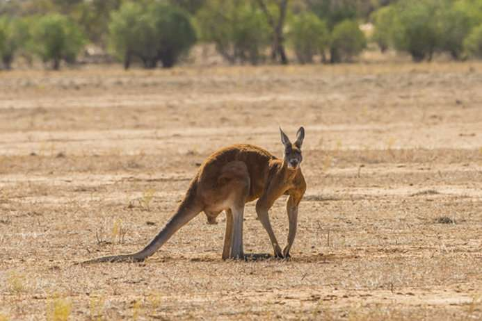 Surprise in the kangaroo family tree – an outsider is a close relative, after all