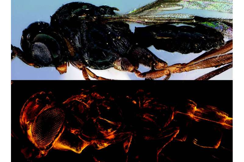 The 'Star dust' wasp is a new extinct species named after David Bowie's alter ego