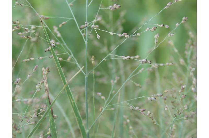 Study identifies additional hurdle to widespread planting of bioenergy crops