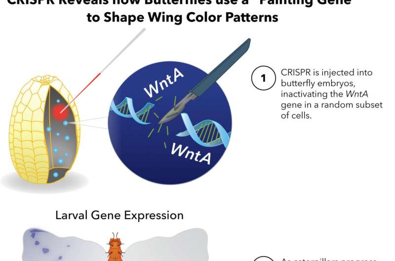 Scientists find 'painting gene' influences pattern, evolution of butterfly wings
