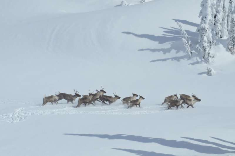An alternative to wolf control to save endangered caribou