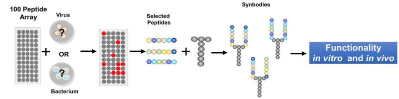 ASU scientists develop new, rapid pipeline for antimicrobials