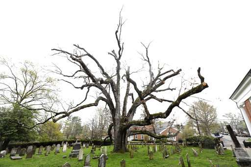 Community reluctantly bidding farewell to 600-year-old tree