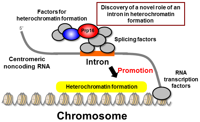 Discovery of a novel chromosome segregation mechanism during cell division