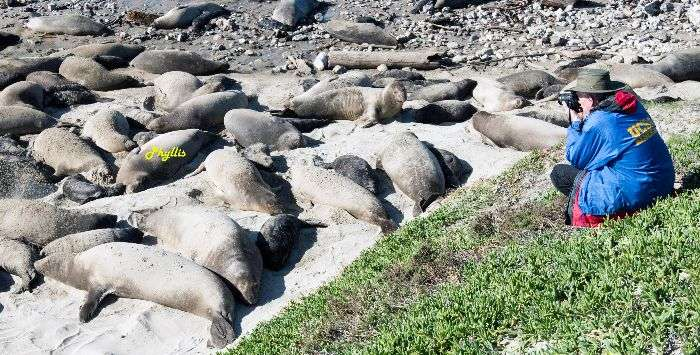 Famous tagged elephant seal returns after record-shattering swim