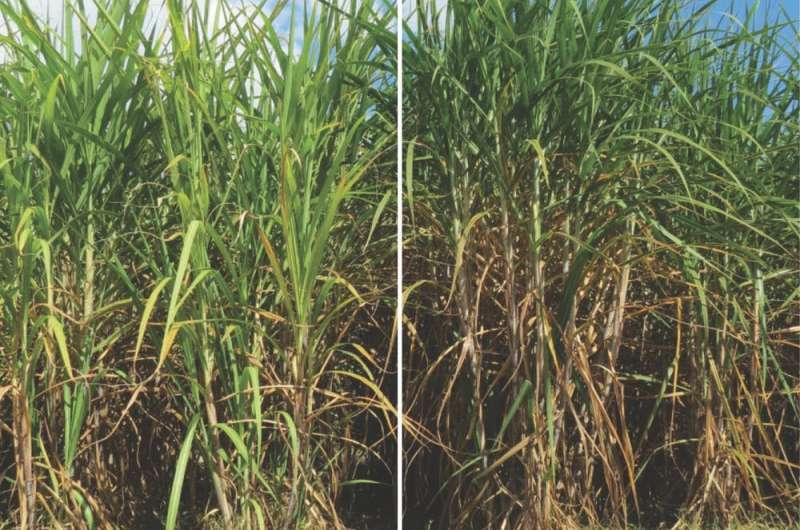 Jet fuel from sugarcane a realistic prospect