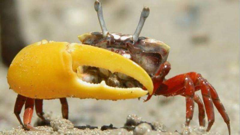 Scientists reveal game of thrones in crab world