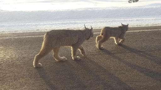 Ski-run surprise: Lynx stroll past crowds in rare sightings