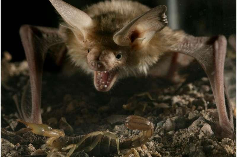 Study finds pallid bat is unfazed by venom of Arizona bark scorpion