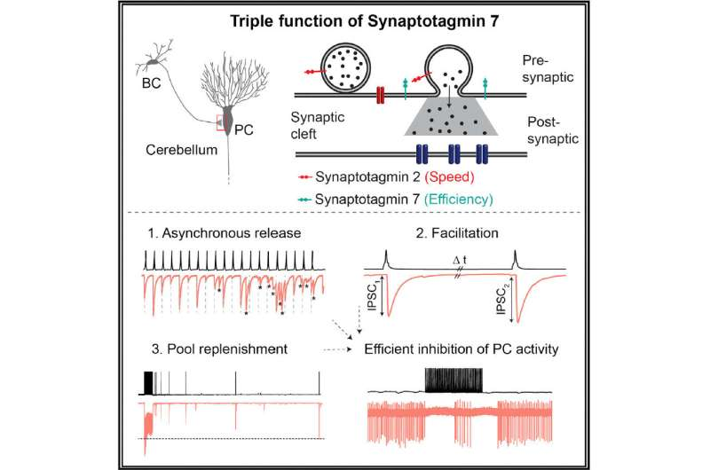 Researchers at IST Austria define function of an enigmatic synaptic protein