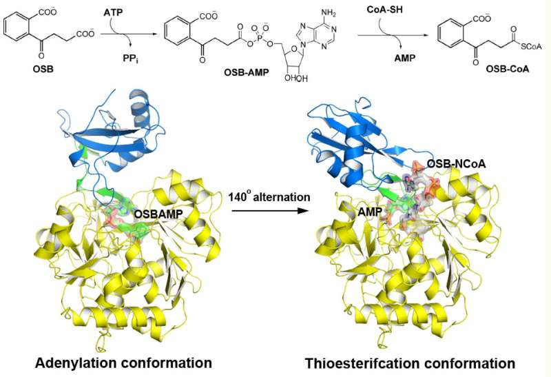Scientists reveal distinct substrate-binding mode in o-succinylbenzoyl-CoA synthetase