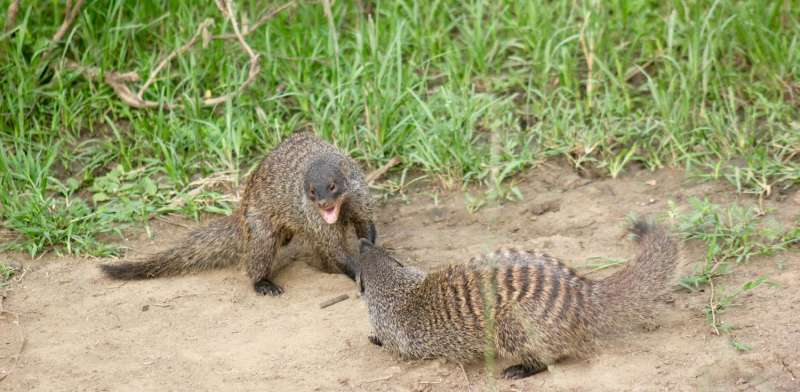 Banded mongooses target family members for eviction