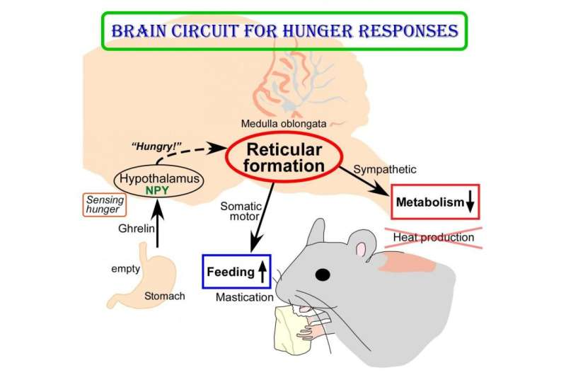 New insights into brain circuit for hunger responses during starvation