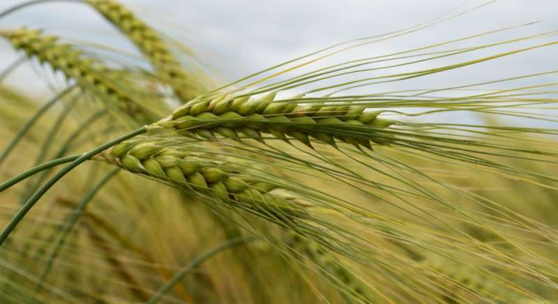 Scientists discover path to improved barley quality