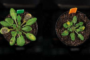 Biologists find missing link for the 'safe' signal in plants