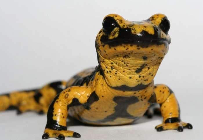 Breakthrough in 'amphibian plague': deadly fungus genes identified