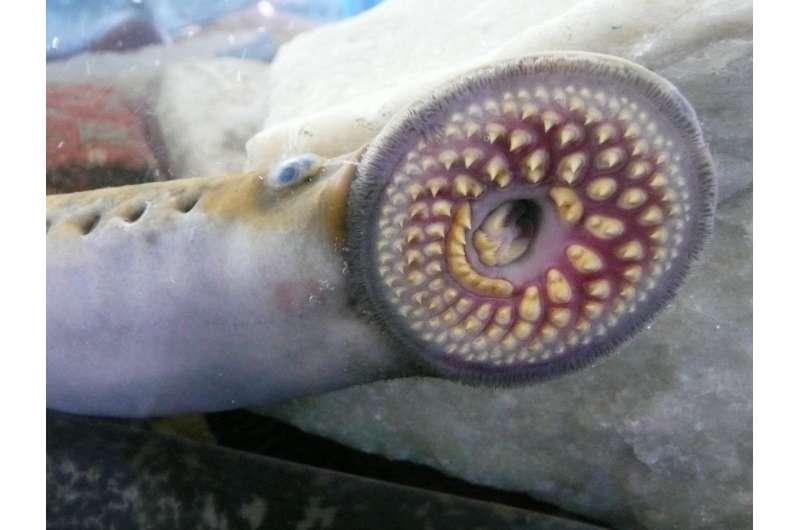 Researcher studies vampiric silver lamprey