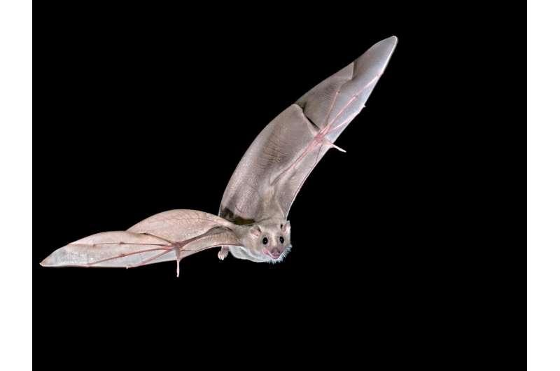 Researchers find neurons that orient bats toward destination