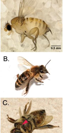 Honeybees hijacked by parasitic fly larvae