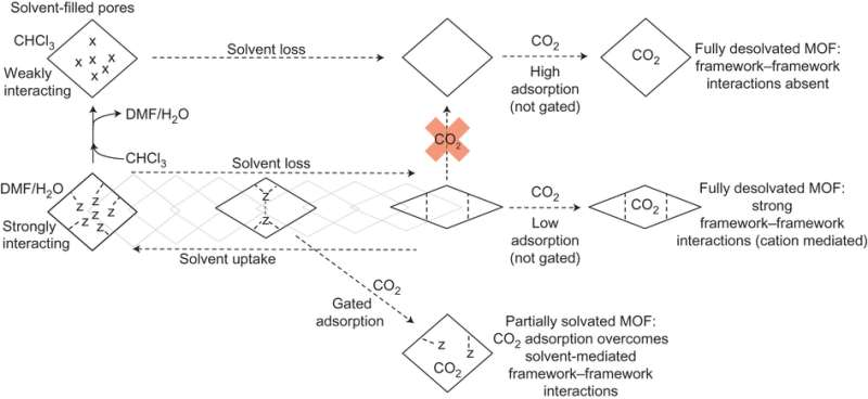 Continuous breathing metal-organic framework with guest selectivity