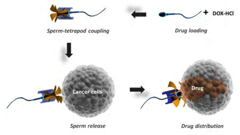 Sperm tested as possible candidate for delivering cancer medications in female patients