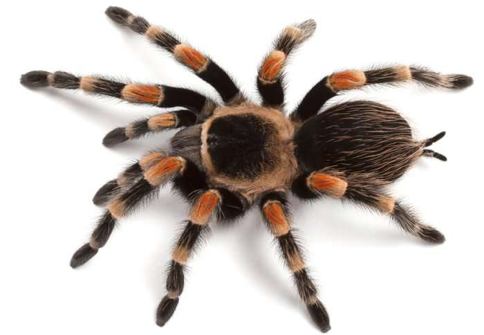 Spider proteins offer new insight into human heart conditions