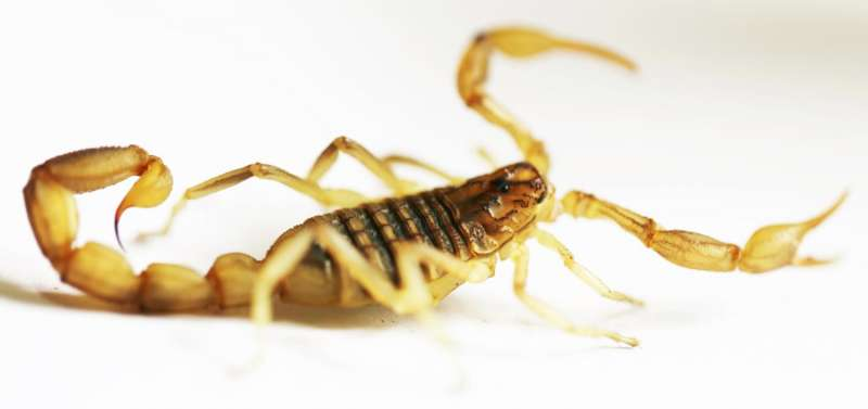 Why scorpion stings are so painful