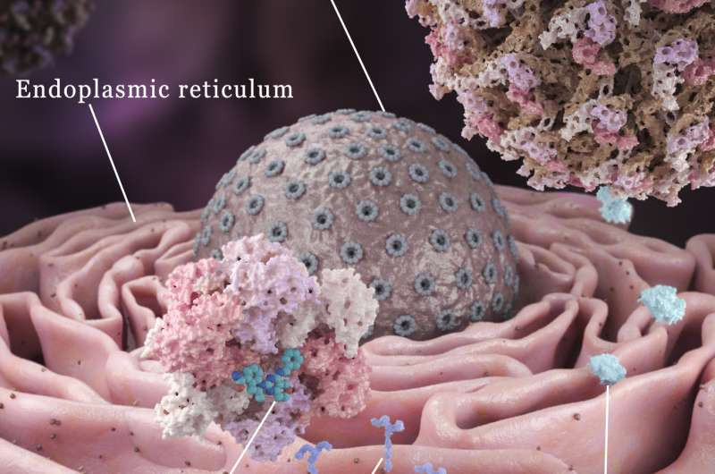 VCP protein inhibitor found to help virus kill liver tumors
