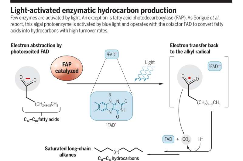 An algal photoenzyme that uses blue light to convert fatty acids to hydrocarbons