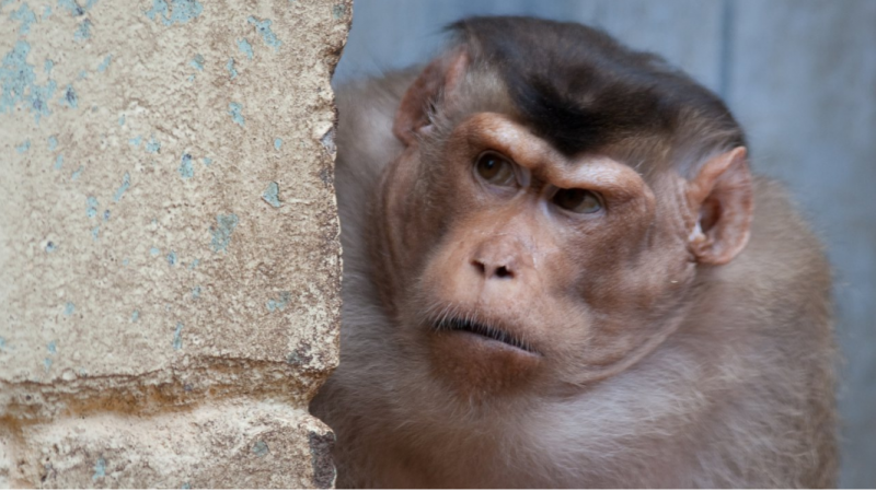 How conflicts spread through monkey societies