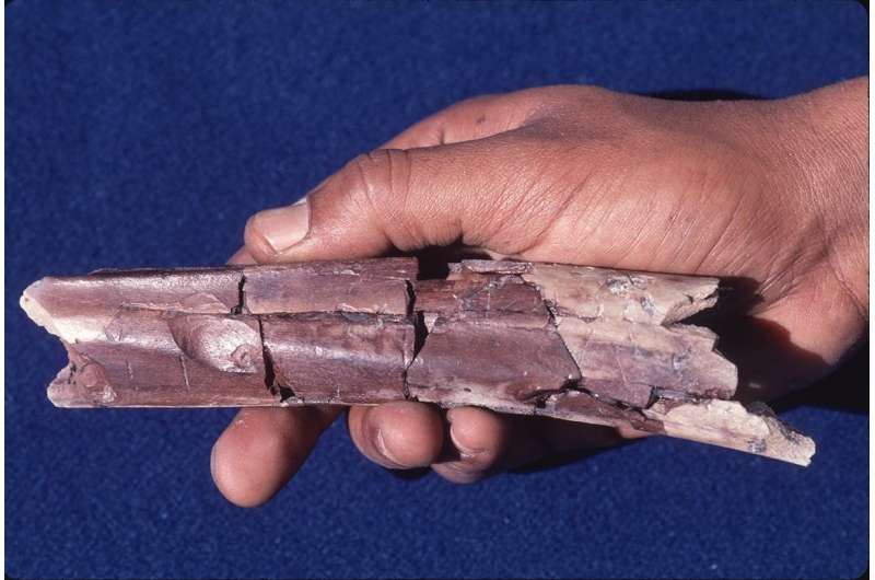 New study suggests some ancient bite marks from crocs not stone tools