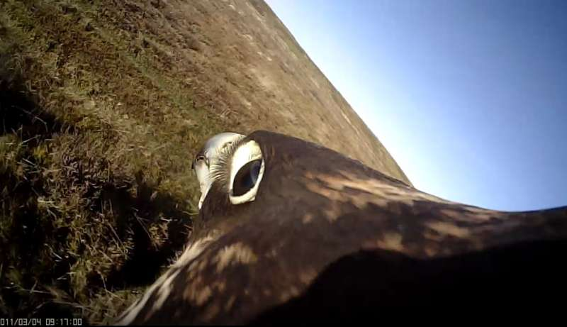 Replicating peregrine falcon attack strategies could help down rogue drones