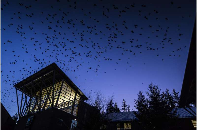 Rooftop wiretap aims to learn what crows gossip about at dusk