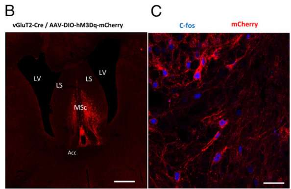 Activating MSc glutamatergic neurons found to cause mice to eat less
