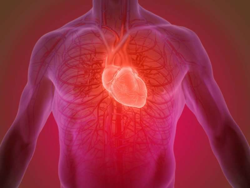 Mitochondrial protein in cardiac muscle cells linked to heart failure, study finds