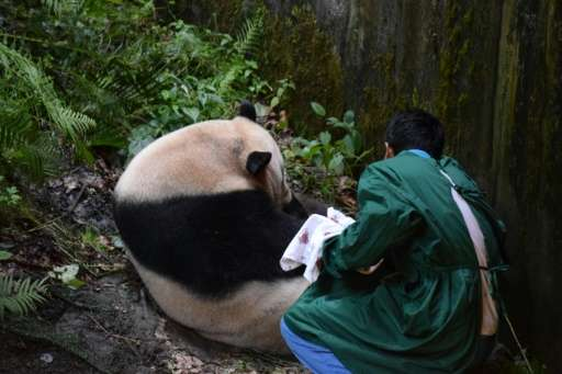 This photo taken on July 31, 2017 shows a keeper retrieving a panda cub from its mother Cao Cao in Wolong in China's southwester