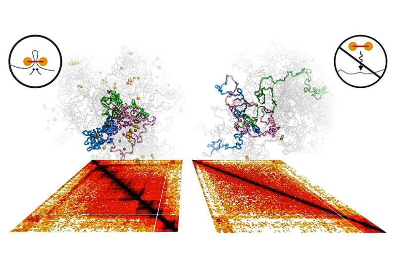 Researchers identify molecular motor that transforms chromosomes
